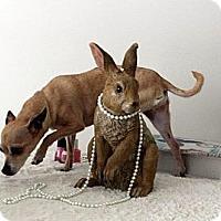 Adopt A Pet :: Precious - Mount Gretna, PA