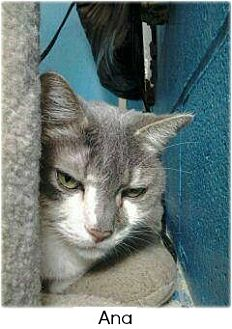 Domestic Shorthair Cat for adoption in Huntington, New York - Anna