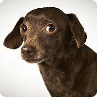 Adopt A Pet :: Kurby - New York, NY