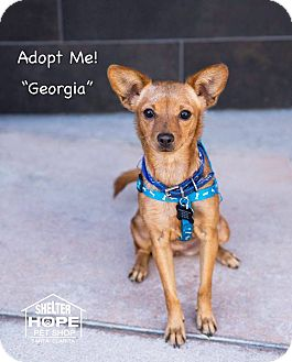 Chihuahua/Dachshund Mix Dog for adoption in Valencia, California - Georgia