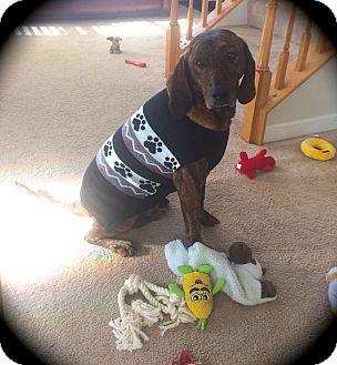 Plott Hound Mix Dog for adoption in Ijamsville, Maryland - Tiger