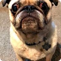 Adopt A Pet :: Choo Choo - Grapevine, TX