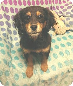 Sheltie, Shetland Sheepdog/Cavalier King Charles Spaniel Mix Puppy for adoption in Conesus, New York - Vega