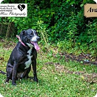 Adopt A Pet :: Ava Jo - North Myrtle Beach, SC