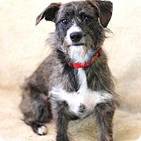 Adopt A Pet :: Sofee - Dalton, GA