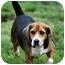 Photo 1 - Beagle Dog for adoption in New York, New York - Barrett