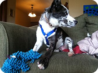 Australian Shepherd Mix Dog for adoption in La Crosse, Wisconsin - Ziva