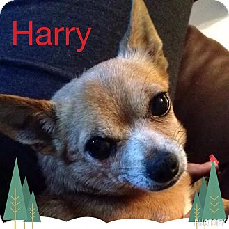 Chihuahua Mix Dog for adoption in Snyder, Texas - Harry