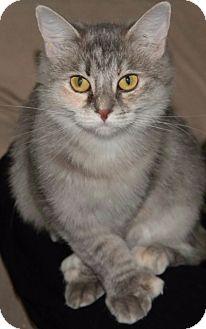 Domestic Mediumhair Cat for adoption in Sherman Oaks, California - Caris