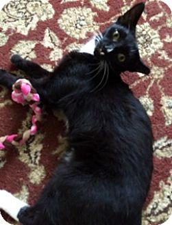 Domestic Shorthair Cat for adoption in Toledo, Ohio - Squirt