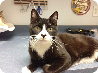 Domestic Shorthair Cat for adoption in Oyster Bay, New York - Andy