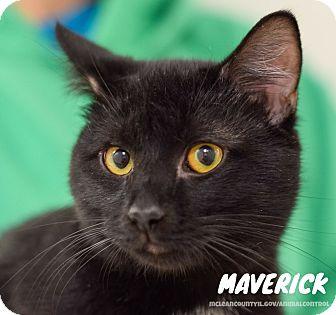Domestic Shorthair Cat for adoption in Hanna City, Illinois - Maverick
