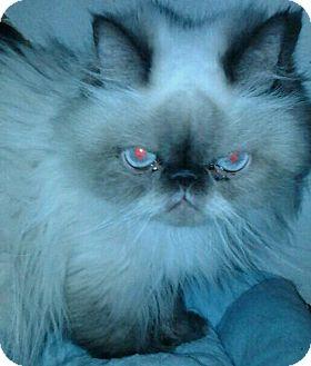 Himalayan Cat for adoption in Columbus, Ohio - Miss Mocha