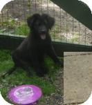 Border Collie Mix Puppy for adoption in Antioch, Illinois - Cassie