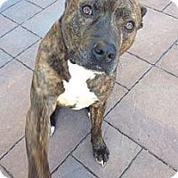 Adopt A Pet :: Cheez-E-Courtesy Post - Phoenix, AZ