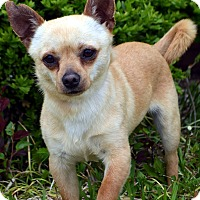 Adopt A Pet :: Brutus-Adoption pending - Bridgeton, MO