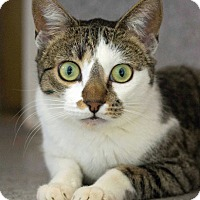 Domestic Shorthair Cat for adoption in Mountain Center, California - Pickwicke