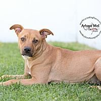 Adopt A Pet :: Honey - Long Beach, CA