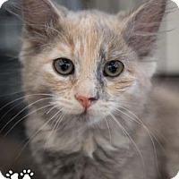 Adopt A Pet :: Adele - Merrifield, VA