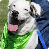 Australian Shepherd/Border Collie Mix Dog for adoption in Boulder, Colorado - Petey
