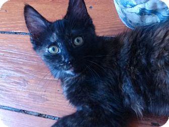 Domestic Mediumhair Kitten for adoption in Philadelphia, Pennsylvania - Keilani
