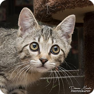 Domestic Shorthair Cat for adoption in Troy, Ohio - Betty