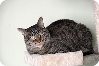 Domestic Shorthair Cat for adoption in Van Nuys, California - Atlas