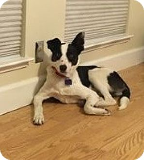 Border Collie Mix Dog for adoption in Corning, California - MAX