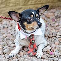 Rat Terrier Mix Dog for adoption in Gilbert, Arizona - Sancho