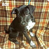 Adopt A Pet :: Ace - Yreka, CA