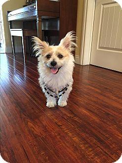 Corgi/Papillon Mix Dog for adoption in West Los Angeles, California - Simon