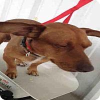 Adopt A Pet :: *NORMAN - Bakersfield, CA