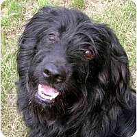 Adopt A Pet :: Blackie - Labradoodle - Alliance, OH