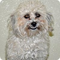 Adopt A Pet :: Shadow - Port Washington, NY