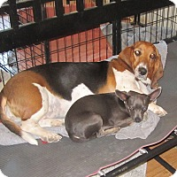 Adopt A Pet :: Molly Basset & Rudy Chihua - Copperas Cove, TX