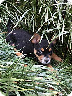 Feist/Beagle Mix Puppy for adoption in Harrisonburg, Virginia - Colt  (ETAA)