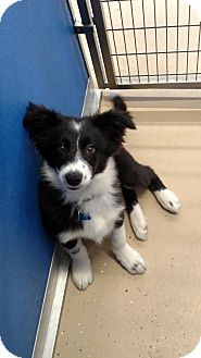 Border Collie Mix Puppy for adoption in Brookings, South Dakota - Colt