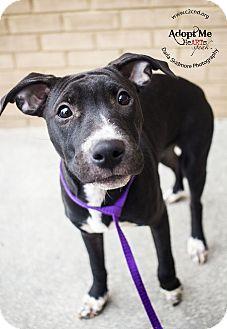 Pit Bull Terrier/Hound (Unknown Type) Mix Puppy for adoption in Charlotte, North Carolina - Pidgey (Pokemon Litter)