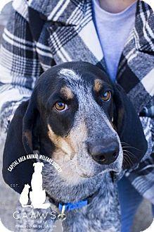 Bluetick Coonhound Dog for adoption in Baton Rouge, Louisiana - Loretta