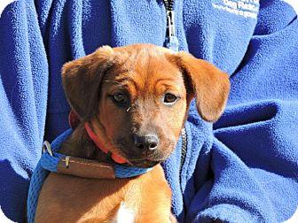 Hound (Unknown Type)/Labrador Retriever Mix Puppy for adoption in Berkeley Heights, New Jersey - Ethel