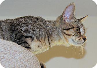 American Shorthair Kitten for adoption in Victor, New York - Spinner