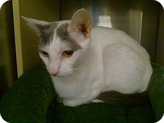 Domestic Shorthair Cat for adoption in Greenville, South Carolina - Kelli