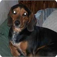 Adopt A Pet :: Harold - Albany, NY