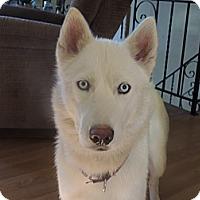 Adopt A Pet :: Bella - Brick, NJ