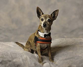 Chihuahua Mix Dog for adoption in Aqua Dulce, California - Coco