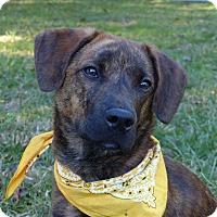 Adopt A Pet :: Bear - Mocksville, NC