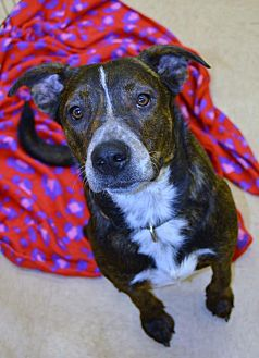 American Pit Bull Terrier Mix Dog for adoption in Beaumont, Texas - Romeo