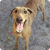 Adopt A Pet :: Roy - Gainesville, FL