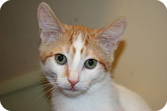Domestic Shorthair Kitten for adoption in Palm desert, California - Tiger