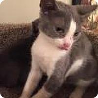 Adopt A Pet :: Henson - East Hanover, NJ